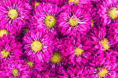 Violet chrysanthemums flowers. Close-up background Royalty Free Stock Photos