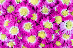 Violet chrysanthemums flowers. Closeup background Royalty Free Stock Photography
