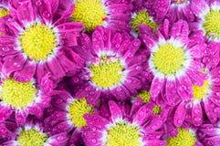Violet chrysanthemums flowers closeup. Violet chrysanthemums flowers after the rain Stock Photography