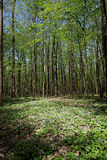 Violet clearing in the woods. Spring forest landscape Stock Photos