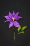 Violet clematis on black background Stock Image