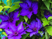 Violet Clematis blomma Royaltyfria Bilder