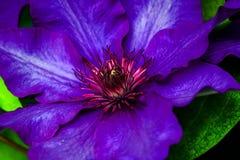 Violet Clematis blomma Royaltyfri Bild