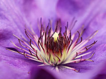 Violet clematis Stock Photos