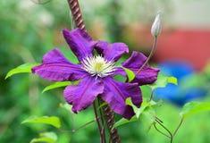 Violet clematis flower closeup Stock Images