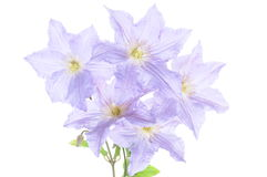 Violet clematis flowers Royalty Free Stock Photography