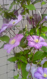 Violet Clematis Morning Royalty Free Stock Photos
