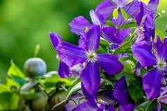 Violet Clematis på en vinranka i en trädgård Arkivbilder