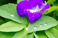 A violet clitoria flower with fresh leaves with water drops stock image