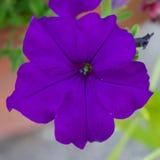 Violet Closeup Stock Photo