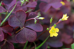 Violet clover in bloom 2. A blooming with yellow flowers clover with leaves of unusual violet and maroon colour royalty free stock image