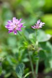 Violet clover. One violet clover on grass background close up stock photography