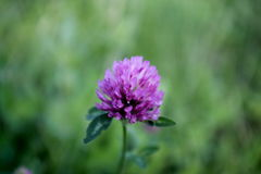 Violet clover. It is a pity that not four leaf Royalty Free Stock Images
