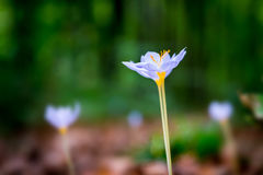 Violet Colchicum autumnale autumn crocus, meadow saffron, naked lady with green blurry forest background. Royalty Free Stock Photography