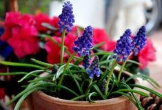 Violet coleus leaves Stock Photo