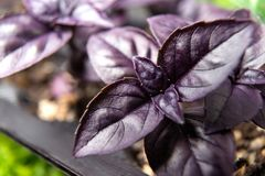 Violet basil plant leaf, hex code 8000FF anthocyanin. Violet is the color corresponding to the shortest wavelength monochromatic radiation that the human eye can stock photo