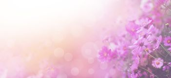 Violet color floral abstract background. Close up pink cosmos flower and white bokeh with copy space. Soft style with vintage filter effect. Banner size stock image