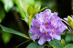 Violet color flower - closeup, macro. Wild beautiful pink and violet flower - closeup, macro royalty free stock photos
