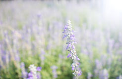 Violet color flower fields. With sunlight in the morning stock photo