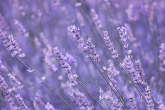 Violet color sunny blurred lavender flower field Royalty Free Stock Photo