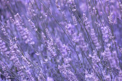 Violet color sunny blurred lavender flower field Royalty Free Stock Photos