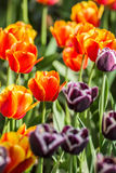 Violet-coloure and orange tulips Royalty Free Stock Image