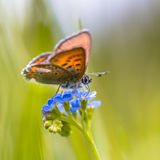 Violet Copper on forget-me-not. Violet Copper (Lycaena helle). This species occurs in scattered populations from the north of Norway to the Pyrenees and from the Stock Photography