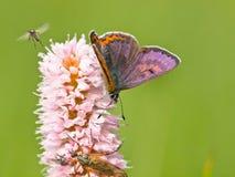 Violet copper in germany Stock Photo
