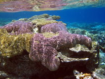 Violet coral reef Royalty Free Stock Photos