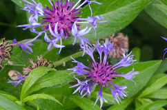 Violet cornflower Stock Photo