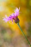Violet cornflower Royalty Free Stock Photography