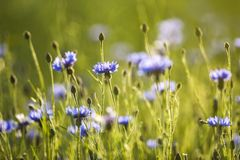 Violet cornflowers blooming on a summer meadow. Violet cornflowers blooming on a summer meadow stock photography