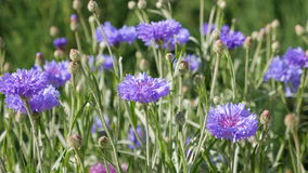 Violet cornflowers in garden. In sunny day stock video footage
