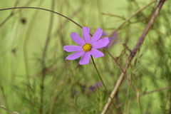 Violet cosmos bipinnatus flower blooming Stock Photography