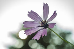 Violet cosmos flower. With beautiful bokeh Stock Photography