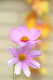 Violet cosmos flower stock images