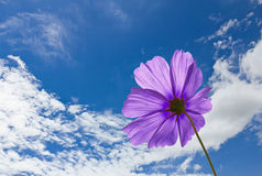 Violet Cosmos flowers Stock Photo