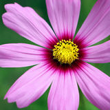 Violet cosmos. On grassland background Royalty Free Stock Photography