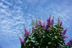 Violet crape myrtle flower Royalty Free Stock Photos