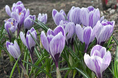 Violet crocus Stock Photo