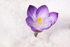 Violet crocus Royalty Free Stock Image