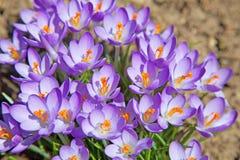 Violet crocus Stock Photos
