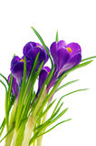 Violet crocus Royalty Free Stock Photo