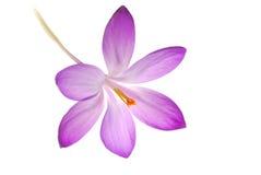 Violet Crocus. Single violet crocus flower, isolated against a white background Stock Photos