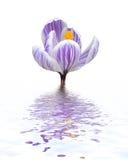 Violet crocus Stock Images