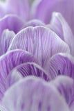 Violet Crocus Stock Image