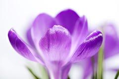 Violet crocus closeup Royalty Free Stock Photos