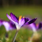 Violet crocus. Colorful crocus in spring representing rejuvenation of nature Stock Photography