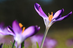 Violet crocus Stock Photography
