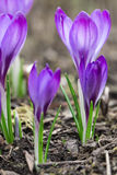 Violet Crocus Royalty Free Stock Photography